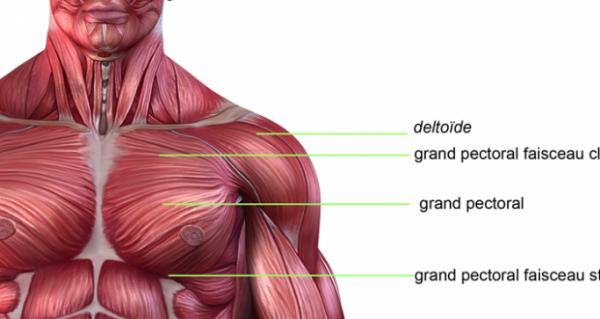 [Aide Anatomie]Les muscles du bras