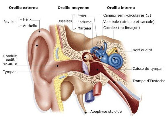 [Aide Anatomie]Les muscles et os de la tête