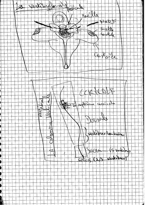 [Aide Anatomie]La colonne vertébrale!