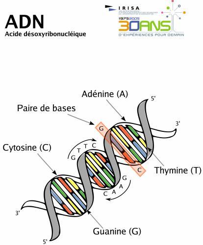 ADN ( Acide désoxyribonucléique); support de l'information génétique