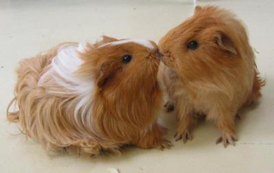 Blog de mini cochon dinde les cochon d 39 inde c mignon - Image de cochon mignon ...