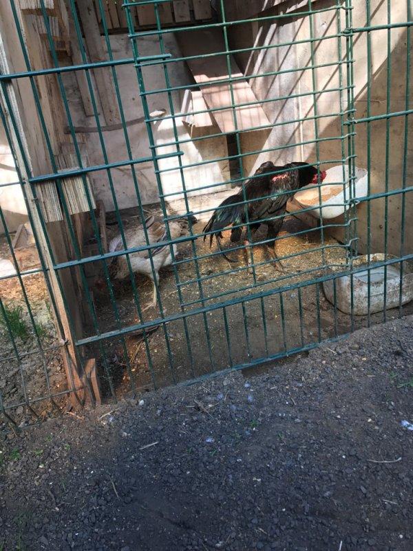Couple Coq Viêt poule turc