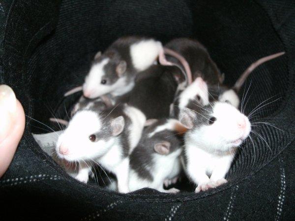 ms ratons