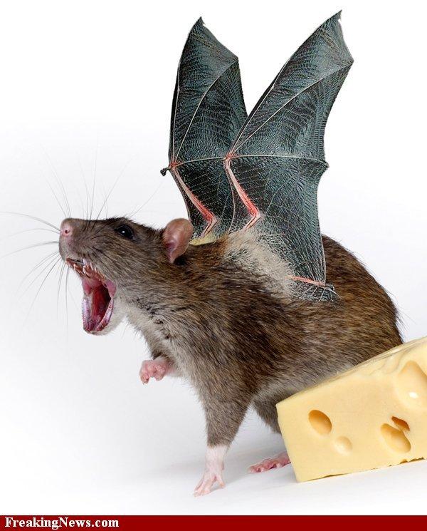 Rat chauve-souris
