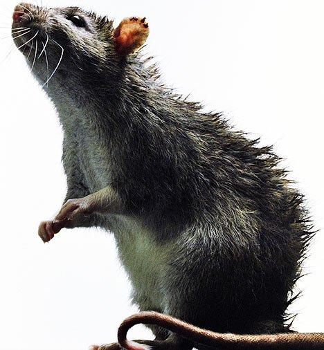 Rat brun. Rat d'égout . Surmulot