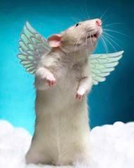 Rat Ange