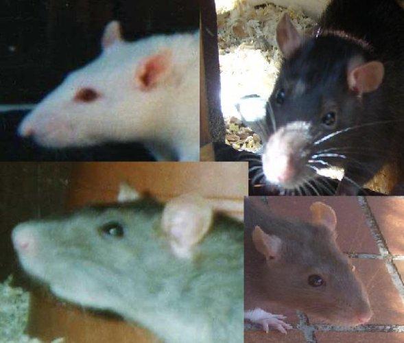 Blog de les-amoureux-des-rats