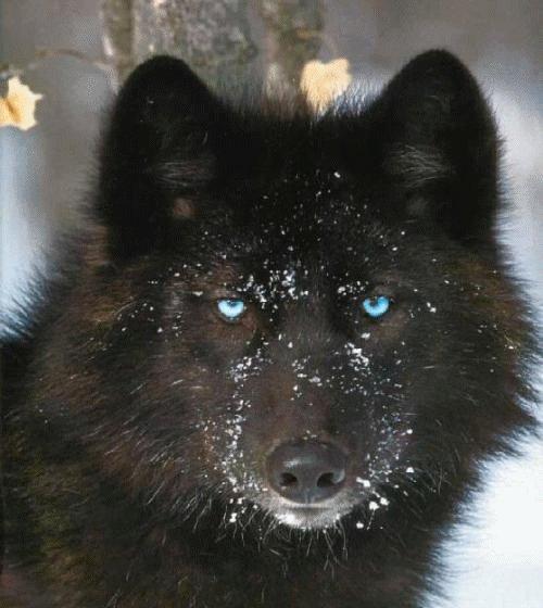 Rex le loup dans la neige