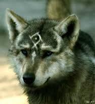 Rex le loup, dit coucou