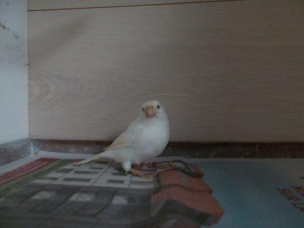 femelle canaris