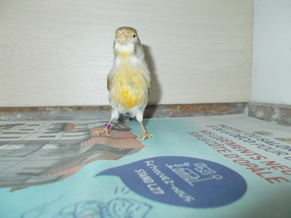 femelle canaris 2.2