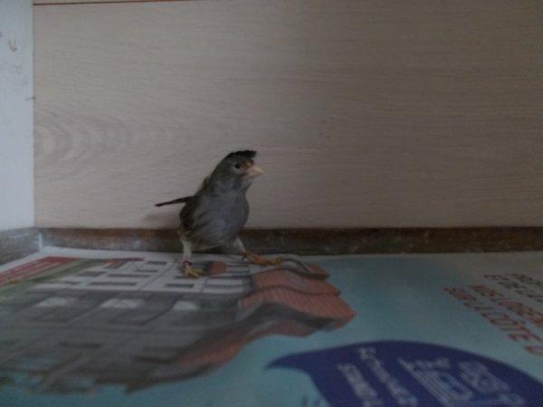 femelle canaris 3