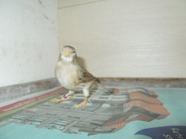 femelle  canaris brun