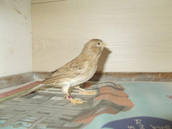 femelle brun 2