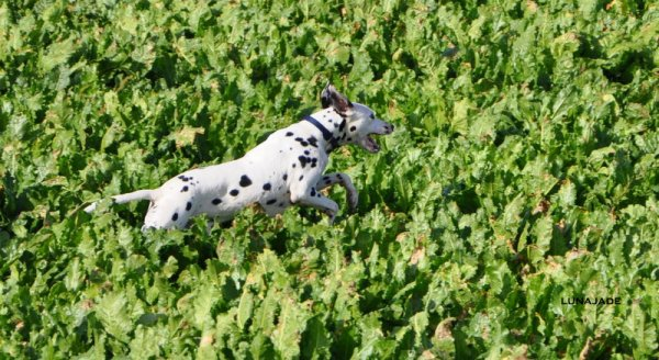 shoot dalmatien