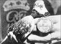 Nos pigeons voyageurs ne sont pas protégés par une loi mais un décret?
