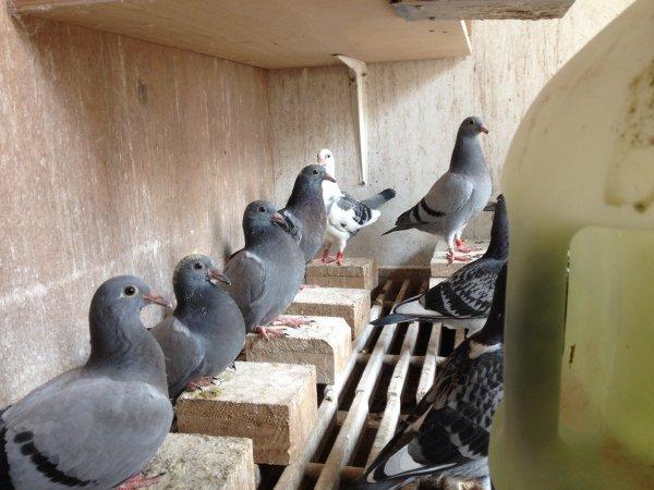 Jeunes 2017,défilé de mode pour pigeons