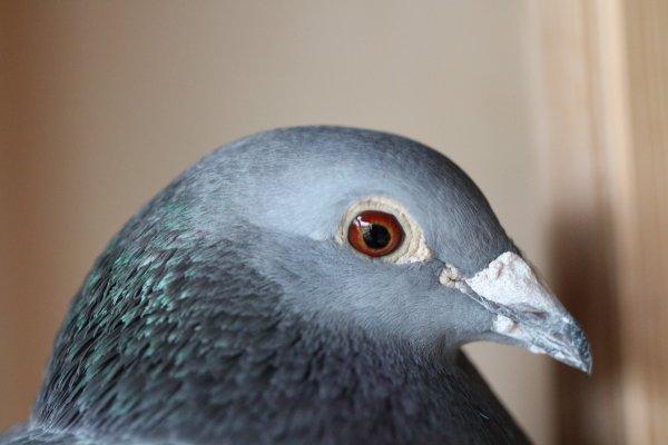 l'intelligence des pigeons voyageurs, ça se remarque.