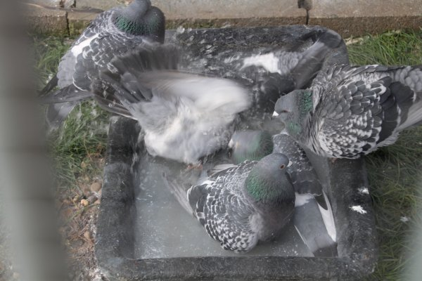 Le bain c'est bon pour la santé et la plume.
