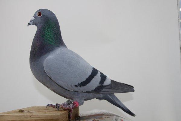 Photographier un pigeon voyageur par Philippe V.