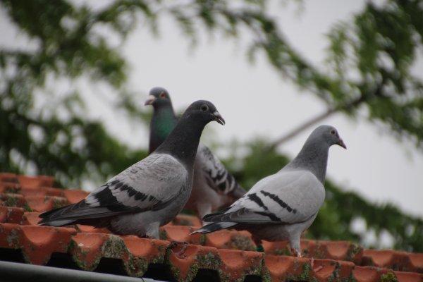 Attaque impresionnante d'une femelle faucon pélerin sur mes pigeons voyageurs ce dimanche 9 juin 2018.