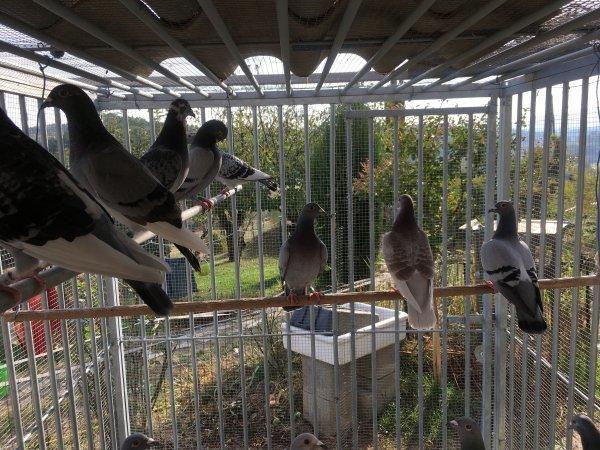 le repos des pigeons voyageurs.
