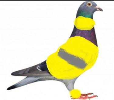 ce matin nos pigeons voyageurs manifestent pour leur sécurité, comme ils ne sont plus défendus et protégés.
