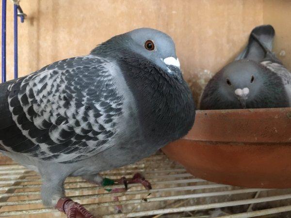 Nouvelle formule de couvre sol de pigeonniers, SUPER.