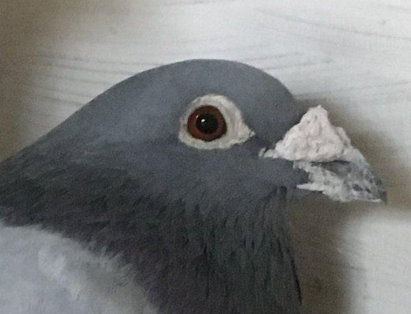 David mon pigeon Fétiche de 2009