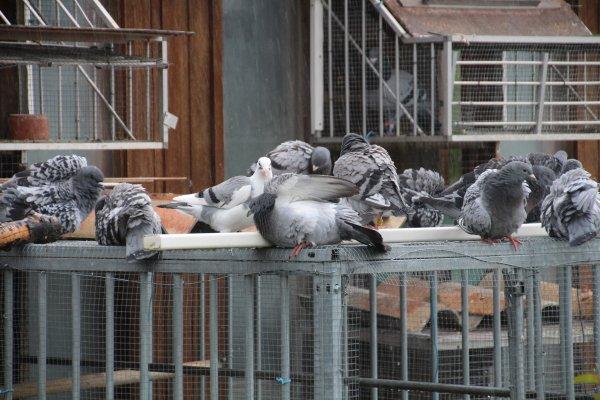 les jeunes pigeons voyageurs par temps de pluies.
