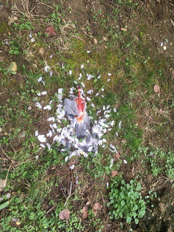 Pigeons voyageurs, première victime d'épervier ce 10/2/2021