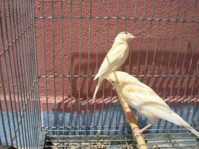 les premiers jeunes canaris oranges + femmelle hybride