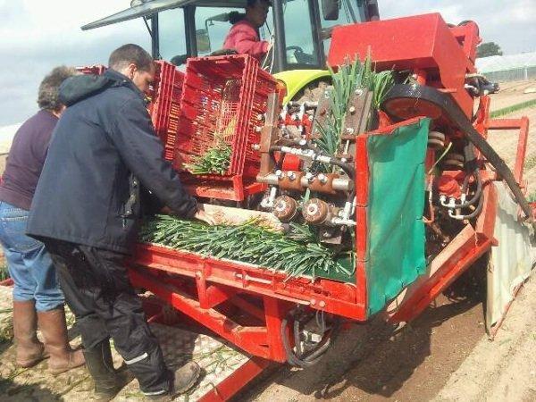 Arrachage du plants de poireau