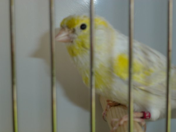 male agate mosaique jaune