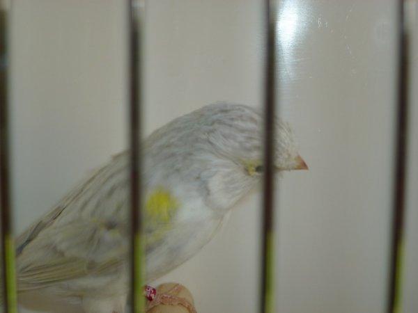 femelle agate mosaique jaune
