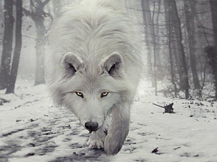 Jim Brandenburg • Loup blanc • Archipel arctique canadien
