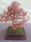Photo de bonsai-cyrus-57