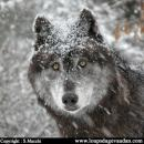 Photo de des-loups205