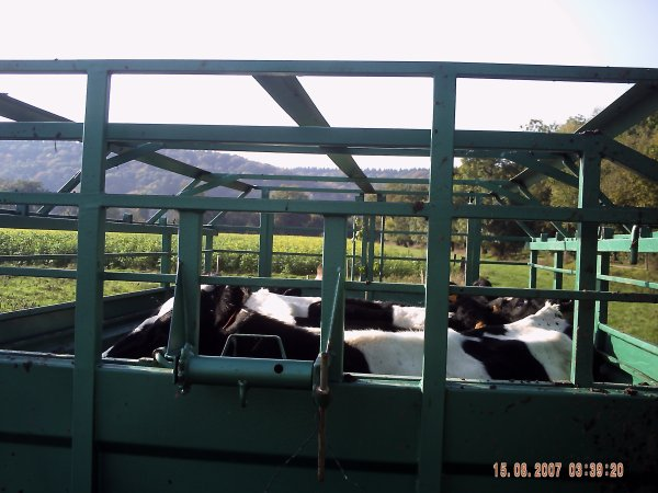 les vache