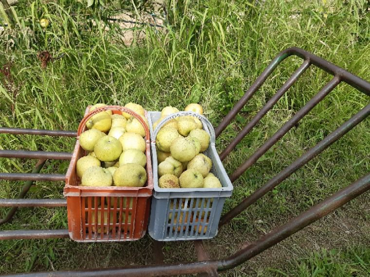 Je suis allée  cueillir  des pommes cette après-midi