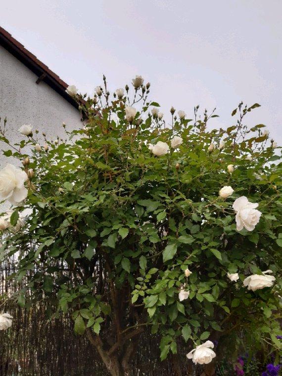 Bonsoir , encore quelques  fleurs avec Nougatine, chouquette et bien sûre  Chipie mon oie