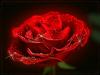 Merci Edith pour ta magnifique rose ( blog de fleurine )