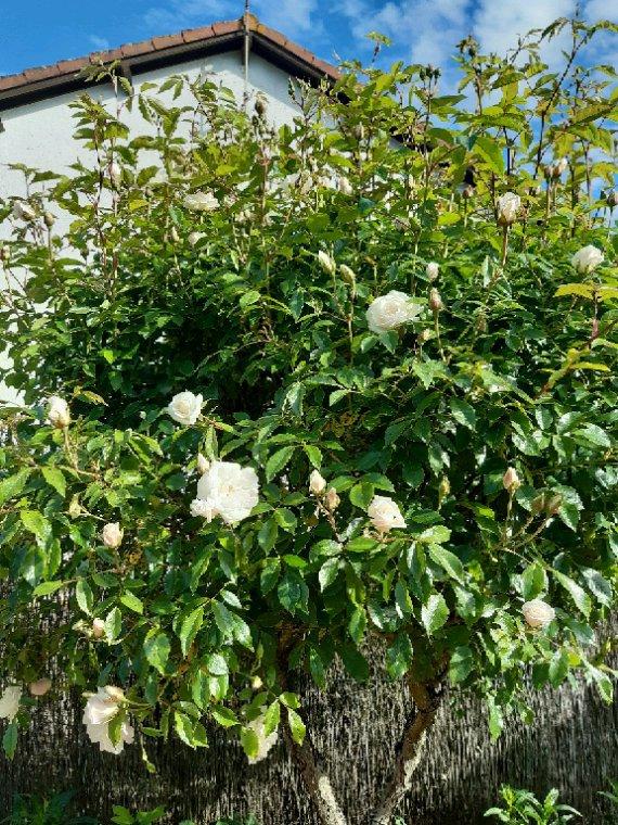 Roses blanches de mon jardin