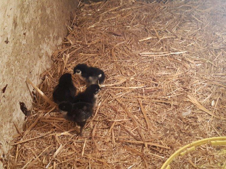 Chèvres  , bouc , poules ,coq , canards et poussins