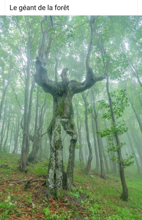 Bonne soirée  avec le géant des forêts