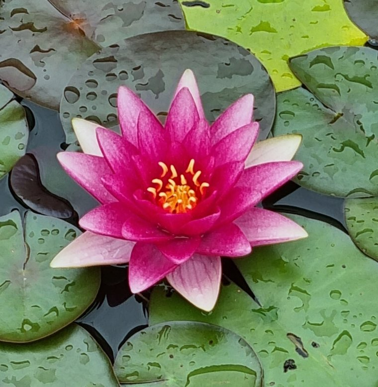 Bon jeudi c'est une fleur de mon bassin