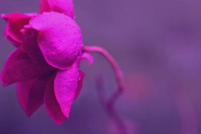 .  Rose pastel .