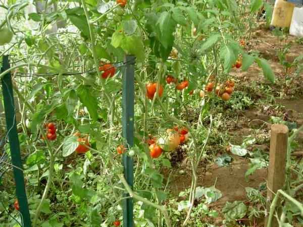 Belles Tomates Coeur De Boeuf En Vinaigrette Et En Coulis Pour Mes