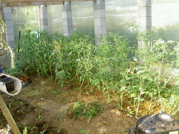 dans la serre les tomates montent et fleurissent bien je les attache réguliérement