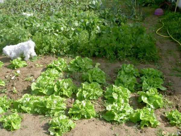 photos du 11 aout 2012 trés bonne recolte de tomates cerises etc..............